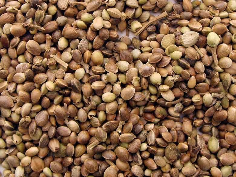 Legal CBD seeds of sativa hemp