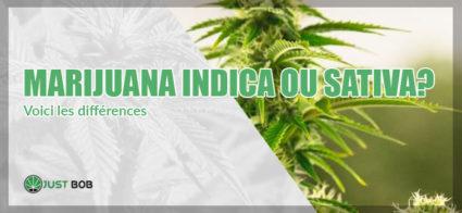 Voici les différences: marijuana indica ou sativa?