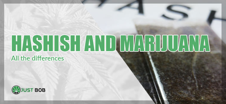 HERE ARE THE DIFFERENCES BETWEEN HASHISH AND MARIJUANA, IN THE EFFECTS AND BENEFITS