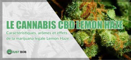 Le cannabis CBD Lemon Haze: tout ce que vous devez savoir