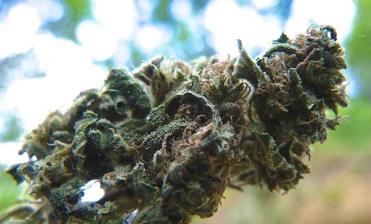 Cannabis sans THC en ligne
