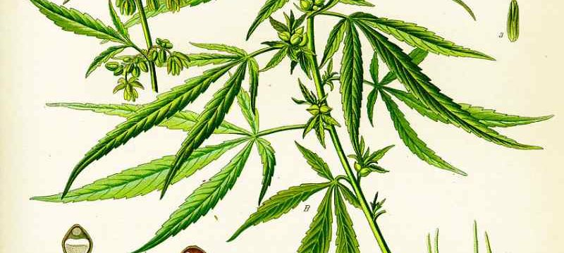 The variant of cannabis: Sativa