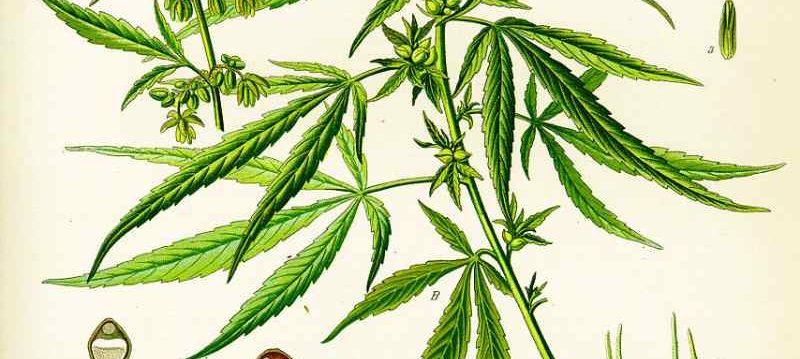 The variant of cannabis: Sativa