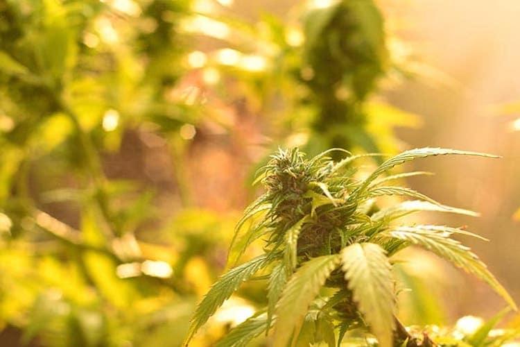 Das beste CBD Cannabis online