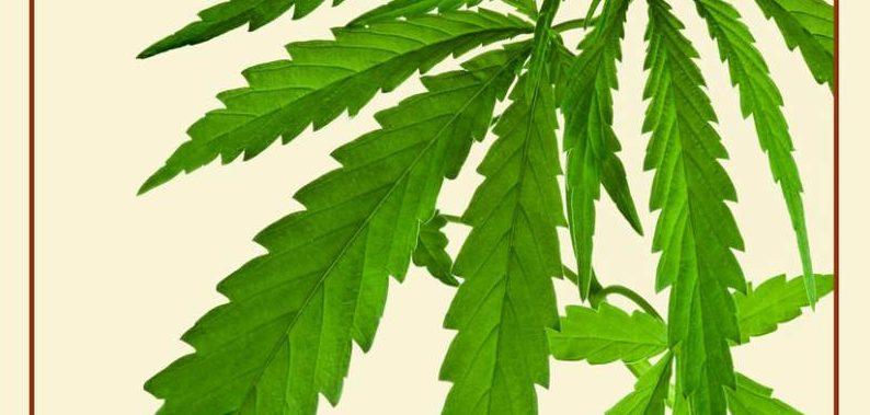 Marijuana Indica: Characteristics