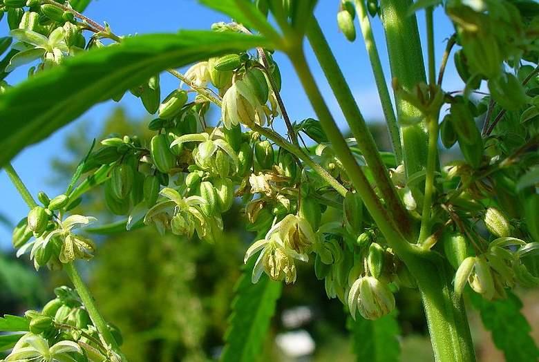 Legales Männliche MarihuanaPflanze