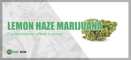 Lemon Haze Marihuana: tutto ciò che devi sapere