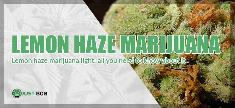 Lemon Haze Marihuana Light: all you need to know about it