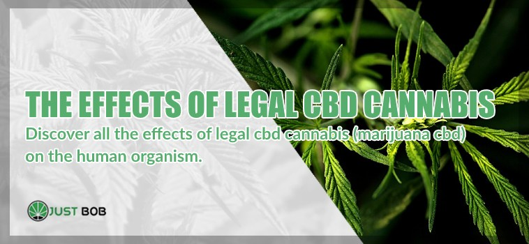 DISCOVER ALL THE EFFECTS OF LEGAL CBD CANNABIS (MARIJUANA CBD) ON THE HUMAN ORGANISM.