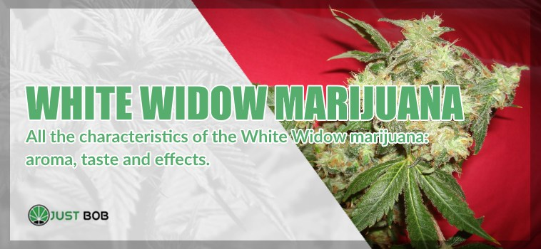 White Widow marijuana: all you need to know about it