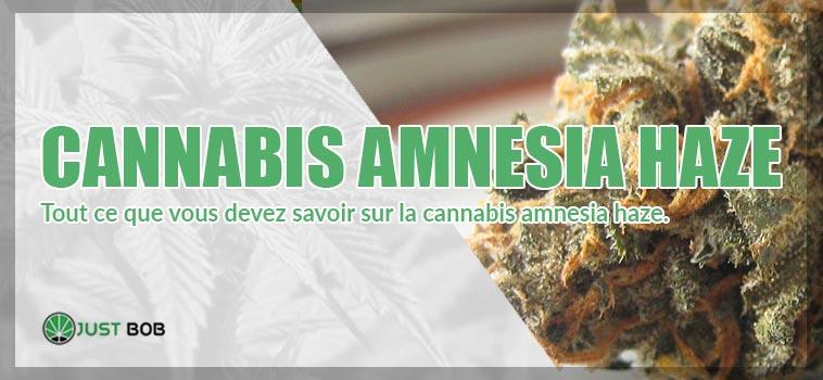 Le cannabis Amnesia Haze : toutes les caractéristiques de cette variété