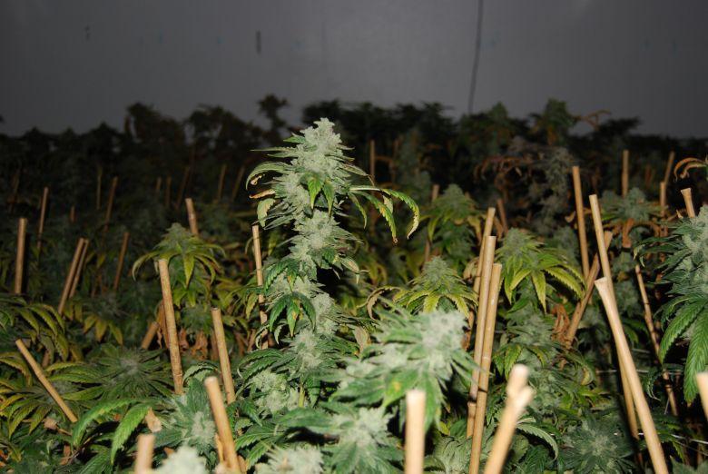 Comment consommer du cannabis CBD ?