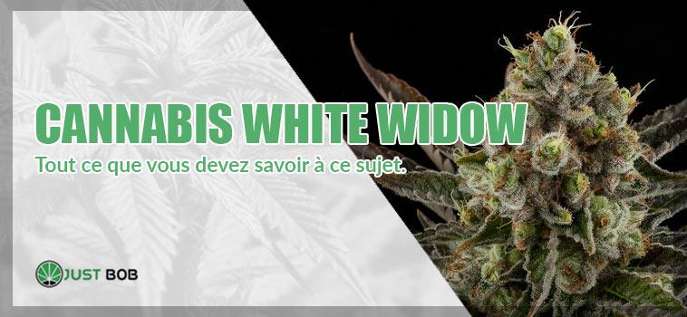 White widow: tout ce que vous devez savoir