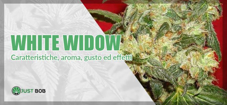 White widow marijuana: tutto quello che devi sapere a riguardo.