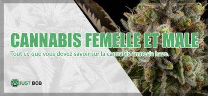 Toutes les différences entre cannabis femelle et male