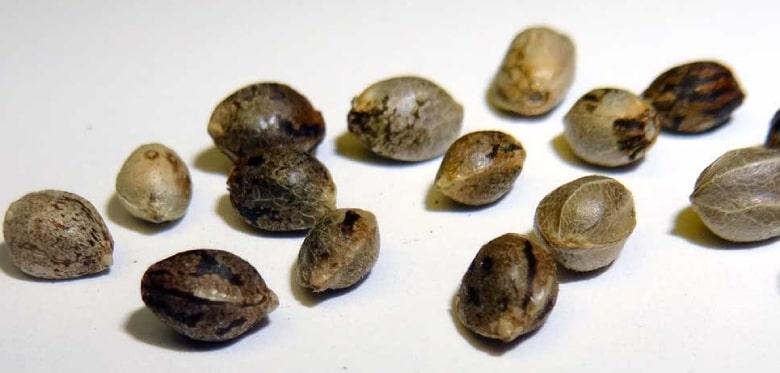 hanf seeds: cannabis cbd seeds