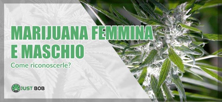 Come riconoscere la marijuana femmina e maschio