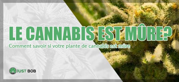 Comment savoir si votre plante de cannabis cbd est mûre ?