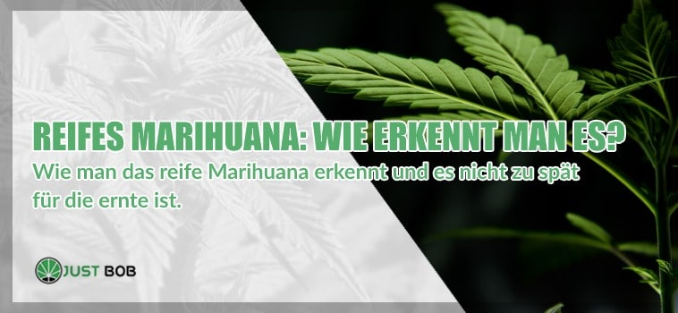 Reifes Marihuana: Wie erkennt man es?