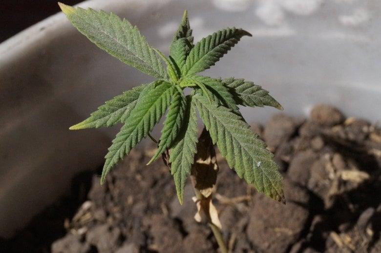 Im Cannabis Social Club ist der Cannabiskonsum legal.