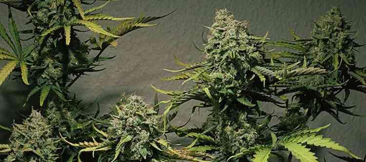 Die besten Cannabissorten