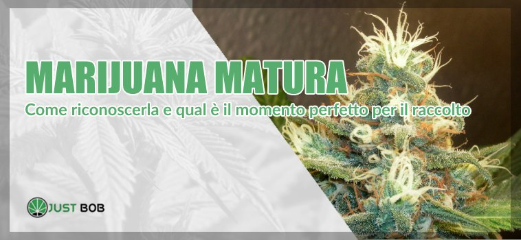 Marijuana matura: come riconoscerla?