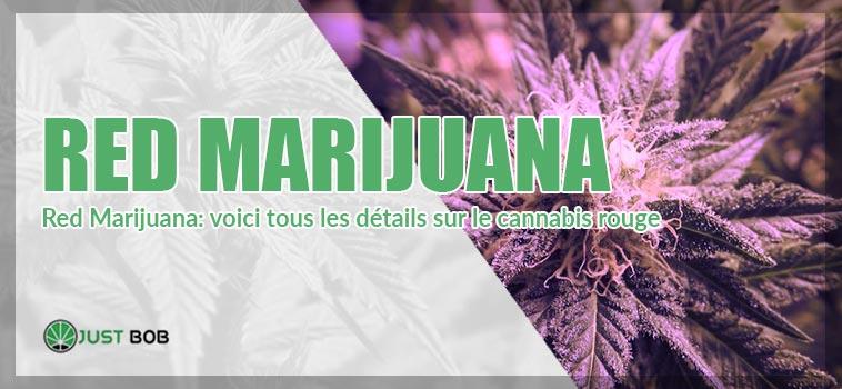 Red Marijuana: voici tous les détails