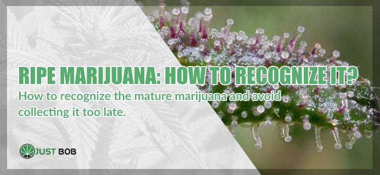 Ripe marijuana cbd: how to recognize it?