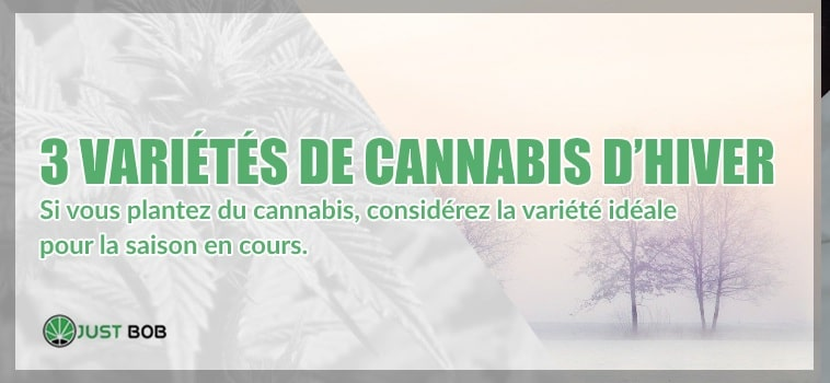 3 variétés de cannabis pour passer l'hiver