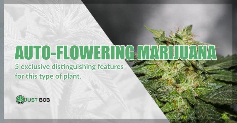Auto-flowering marijuana CBD
