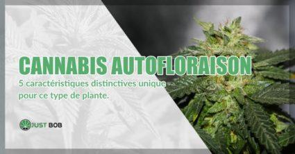 Cannabis autofloraison