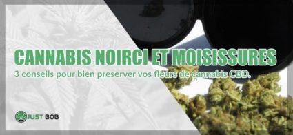 Cannabis noirci et moisissures