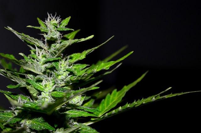 Cannabis CBD: un sujet très différent