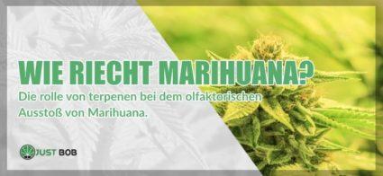 Wie riecht Cannabis CBD?