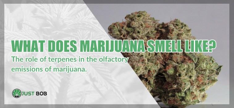 What does marijuana smell like?