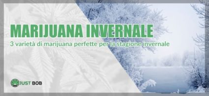 Marijuana CBD invernale