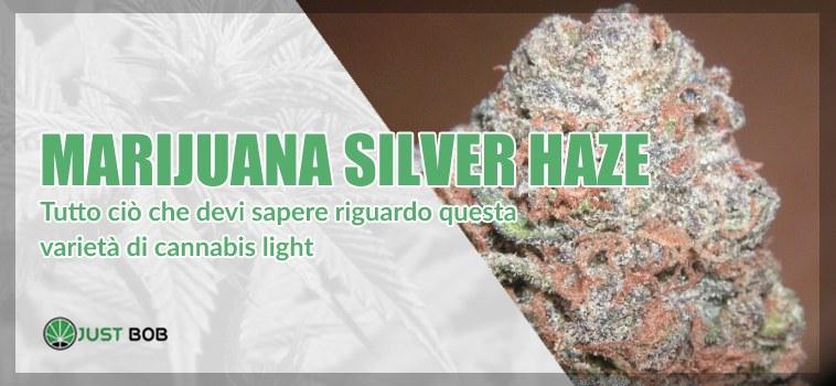 Marijuana cbd Silver Haze