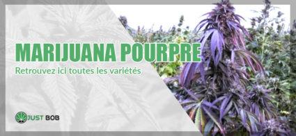 La marijuana pourpre / violette