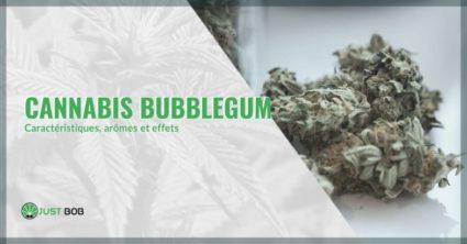 Cannabis Bubblegum: caractéristiques, arômes et effets.