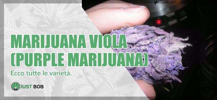 Marijuana viola : ecco tutte le varietà