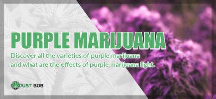 Purple marijuana: here are all the varieties