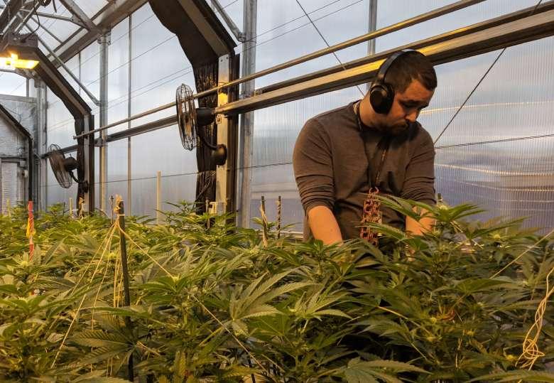 The innovative cultivation of legal California Haze