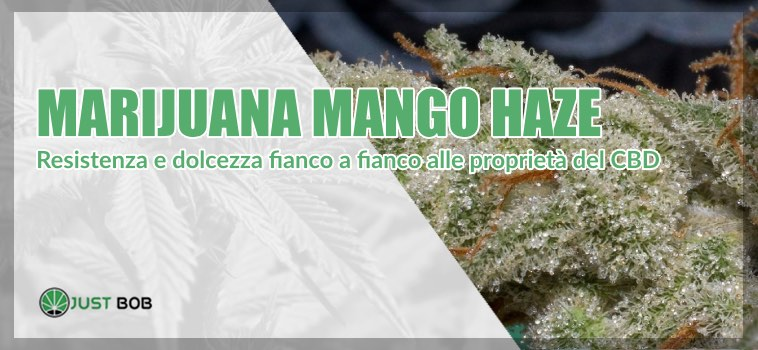 La Marijuana Mango Haze