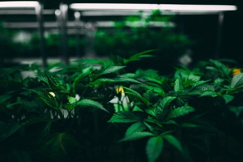 Top qualité de cannabis legale