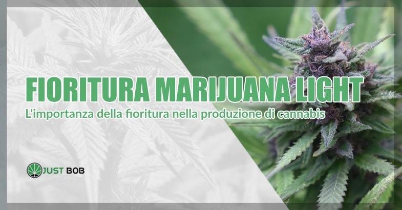 Fioritura della cannabis CBD