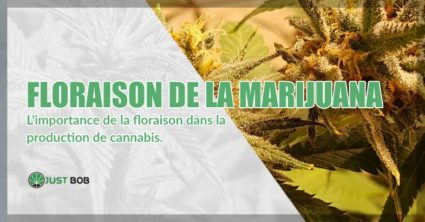 Floraison de la marijuana