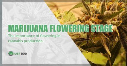 Marijuana flowering stage